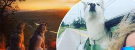 Kolla in bilderna på hundarnas resäventyr