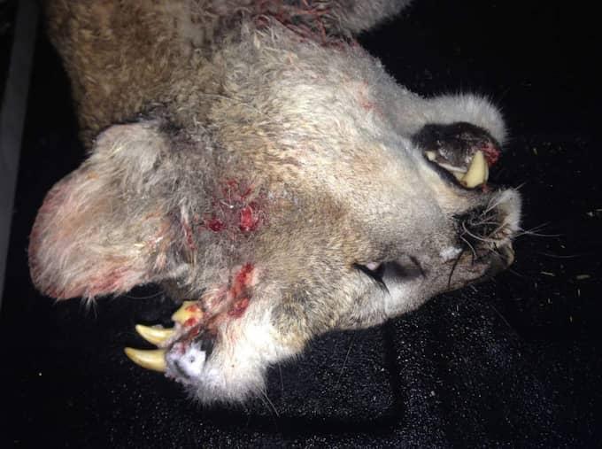 När jägaren hade fällt puman upptäckte han att djuret hade tänder i nacken. Foto: AP