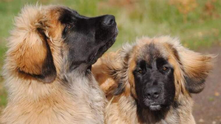 Risken är att det båda bortsprungna hundarna Lotus och Mingla håller på att bli förvildade. Foto: Privat