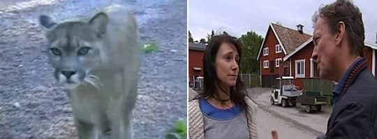 RISKFYLLT. Som ung praktikant på Ölands djurpark uppmanades Johanna Borgstrand att gå in i en bur med tre fullvuxna tigrar. Nu berättar hon om hur illa djuren behandlades på djurkparken. Foto: PRIVAT