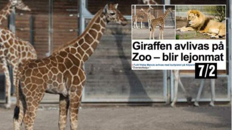 Under söndagen ska giraffkalven Marius, 1,5, avlivas, obduceras inför publik och sen ges till lejonen. Foto: Köpenhamn zoo