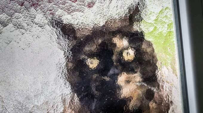 Under tisdagen hörde en förkrossad ägare av sig till Kattfotens katthem i Halmstad. Hon hade hittat sin katt allvarligt skadad. OBS: Katten på bilden är fotograferad i ett annat sammanhang. Foto: Frank Rumpenhorst / Epa / Tt