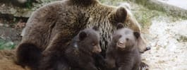 Nya björnungar födda i Skånes djurpark