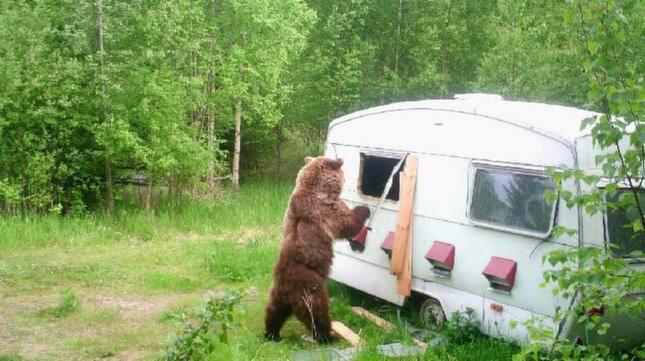 Björnen slet sönder husvagnen för att komma åt honungen inuti