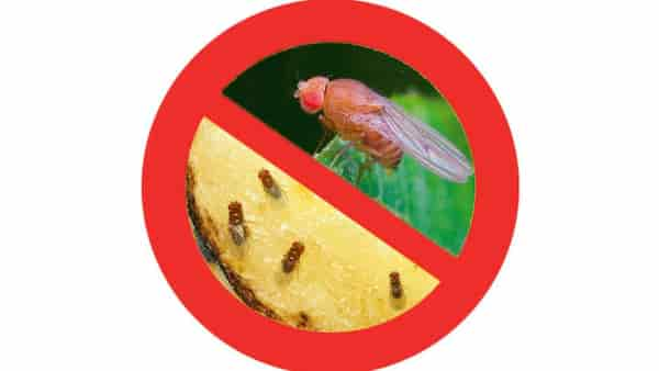 husmorstips bananflugor