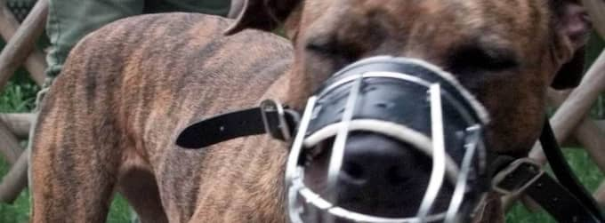 13 hundraser är förbjudna i Danmark. Foto: Christof Stache