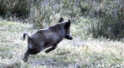 """""""En skadeskjuten vildsvinsgalt är mycket farlig. Vi får nu överväga om inte jägarna ska ha säkerhetsbyxor av Kevlar när de jagar i vilthägnet"""", säger jaktledare Jöns-Lennart Andersson. Foto: Lasse Svensson"""