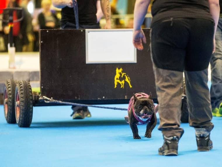 Franska bulldogen Doris under Weightpull-tävlingen. Foto: Anders Ylander