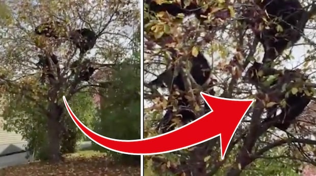 Hela grannens äppelträd skakar – när de får oväntat besök