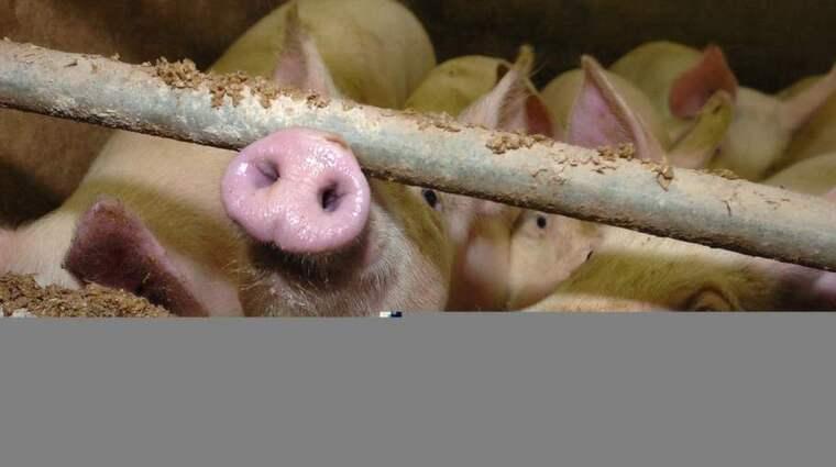 """Totalt har fyra personer dött av infektioner från den understam av bakterien som kallas """"svin-MRSA"""". Foto: Lasse Linden"""
