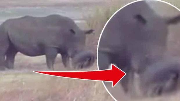 Ett bildäck hade fastnat på noshörningens nos - se räddningen