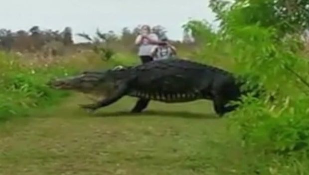 Tappar hakan av den megastora alligatorn