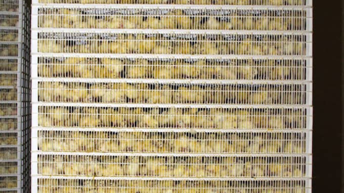 Kycklingarna kastas in i maskiner och behandlas som om de vore prylar tillverkade av plast eller gummi. Foto: Animal Equality