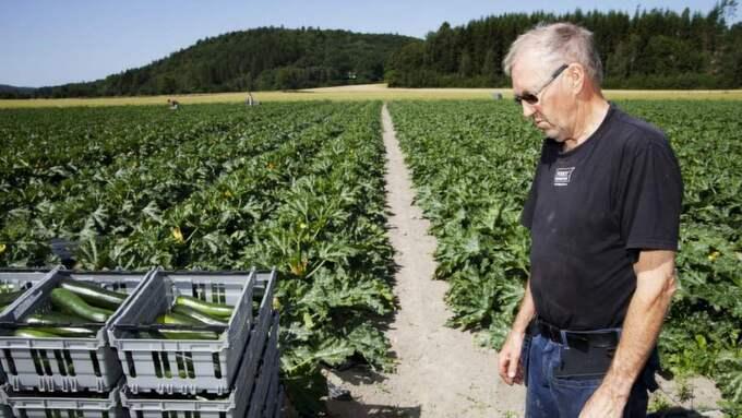 Grönsaksodlaren Ingemar Johansson tvingas slänga flera ton av sin skörd av zucchini då grossisterna väljer att köpa av billigare odlare utomlands. Foto: Maria Steén