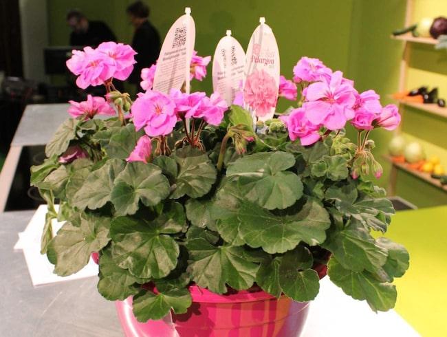 Pelargoner – Sveriges mest älskade krukväxt. Här är pelargonen rosa Violina.