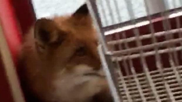 Se läsarfilmen: Här springer räven in i mataffären