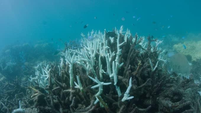 Korallblekning vid Stora barriärrevet utanför Australien, fotograferat i mars 2017. Foto: WWF/BIOPIXEL HANDOUT / EPA / TT / EPA TT NYHETSBYRÅN