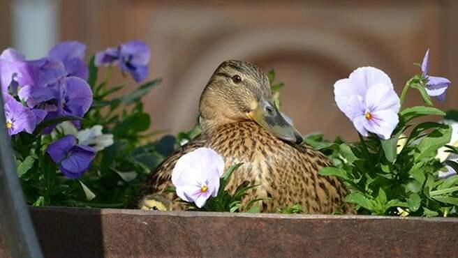 Sedan mitten av april har honan ruvat ägg i en blomkruka på rådhustrappan i Kristianstad. Foto: Kristianstads kommun