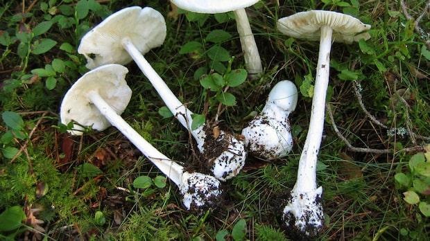 Två barn döda efter svampförgiftning i Danmark