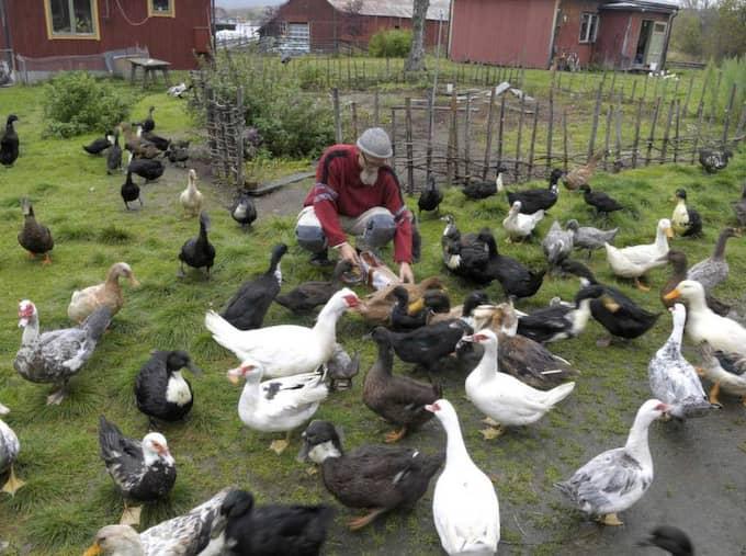 UPPFÖDARE. När det vankas mat i Bonäset samlas ankorna tätt runt Peter Blombergsson och rycker i påsarna för att om möjligt få en extra bit. Foto: Gunno Rask