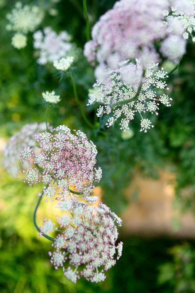 Den vackra blomstermoroten Dara har blivit ett måste i en pallkrage. Den frösås inne i februari - mars då den tar lite tid på sig att utvecklas. När den väl börjat blomma gör den det i överflöd.
