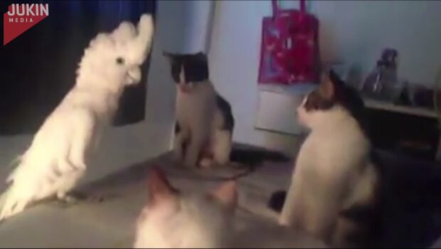 Obetalbart när papegojan lyckas härma katternas mjau