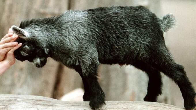 Killing från barnens zoo. Foto: Lennart Rehnman