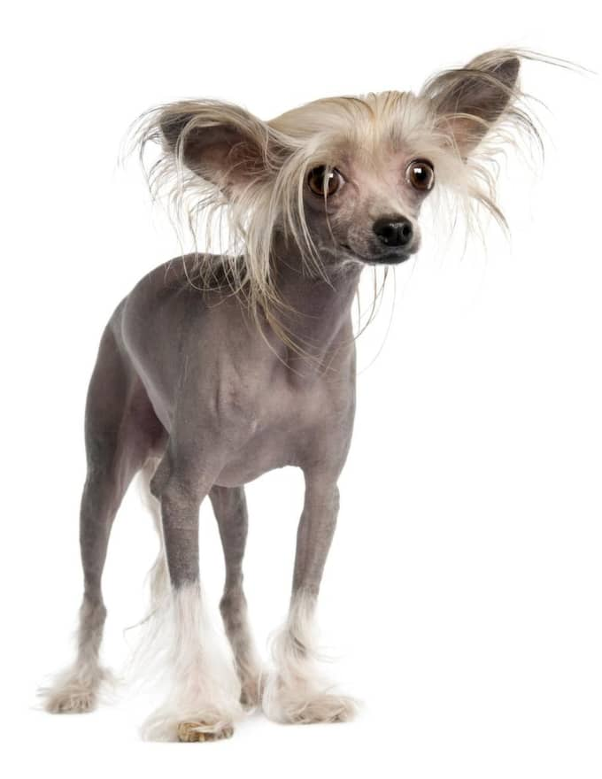 Chinese Crested dog/ Kinesisk nakenhund. Foto: Eric Isselãéâ E