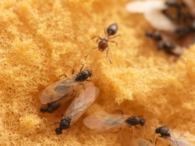 Svärmarna av flygmyror är helt ofarliga, men kanske obehagliga. Det finns många knep för att slippa dem.