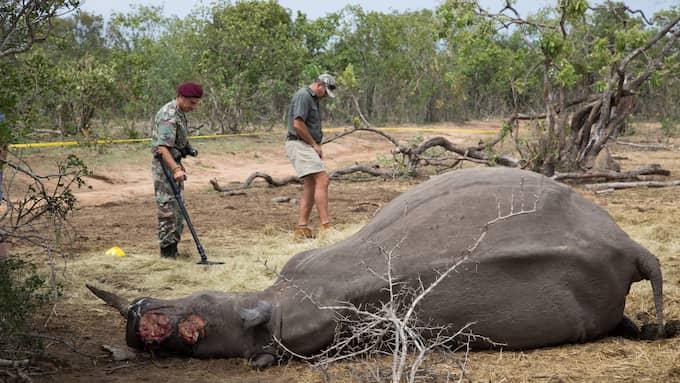 En dödad noshörning i ett reservat utanför Hoedspruit i Sydafrika. PArken ligger i anslutning till Krugerparken. Protrack och polisens utredare gör en fullständig brottsplatsundersökning och obducerar noshörningen på plats Foto: Torbjörn Selander