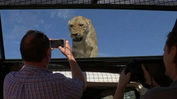 Människor i lejonburen - på den här djurparken gör man tvärtom