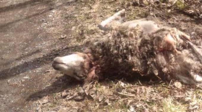 Paret hittade ett av sina får dödade, och nu fruktar de att fler ska bli offer för björnen. Foto: Privat