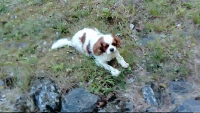 Hunden Lacey vargdödades 17 augusti framför ögonen på ägaren. Foto: Privat