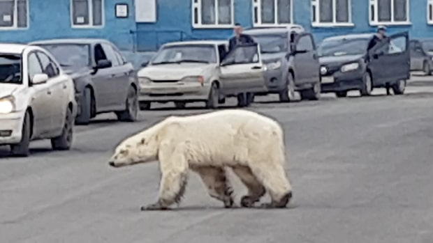 Här går isbjörnen runt i det ryska industriområdet