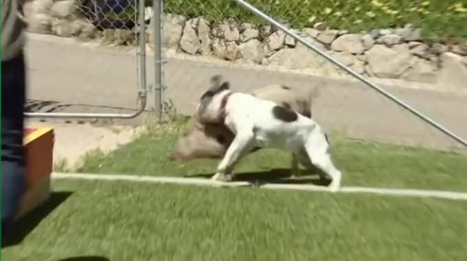 Grisen attackerades vid ett flertal tillfällen av hunden. Nu utreds tv-profilen Cesar Millan för djurplågeri.