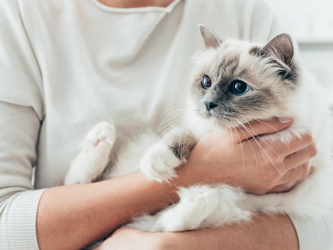 Kattkaféer – där du kan ta en kopp kaffe och samtidigt kela med katter – har länge varit en succé i Japan.