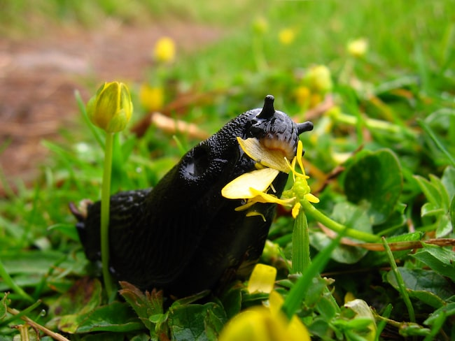 Snart invaderar mördarsniglarna våra trädgårdar och äter upp allt.