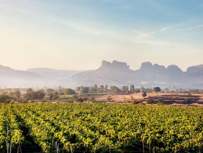 Allt fler länder börjar göra eget vin, Indien beskrivs av många som nästa stora vinland.