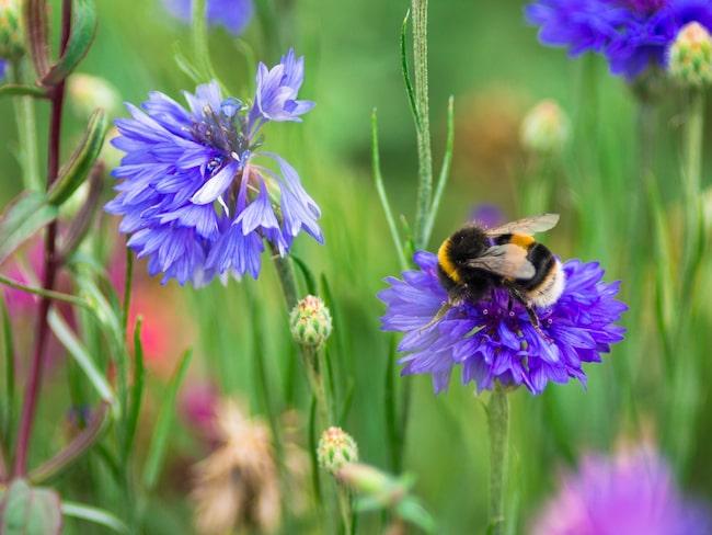 Både humlor, bin och andra pollinatörer är nämligen på väg att bli utrotningshotade vilket blir en katastrof för oss alla.