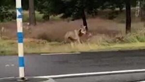 Se när vargen strosar runt i centrala Bredaryd