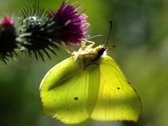 Citronfjäril vill vi gärna ha i trädgården. Larvernas värdväxt är brakved och är därför inget hot mot trädgårdsväxterna.