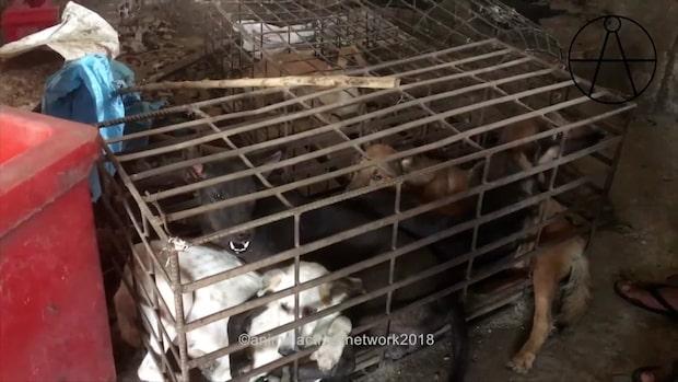 Hjälplösa hundar dränks - för att bli gatumat