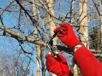 Då ska du beskära dina äppelträd | Leva & bo | Expressen | Leva & bo