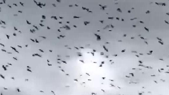 Kajorna tar över staden –flyger in i Heléns lägenhet