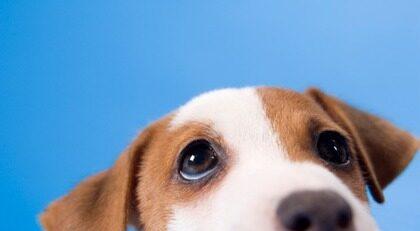 """""""Jag hör vad du säger"""". Hundar lyssnar bättre än manliga partners, enligt undersökning."""