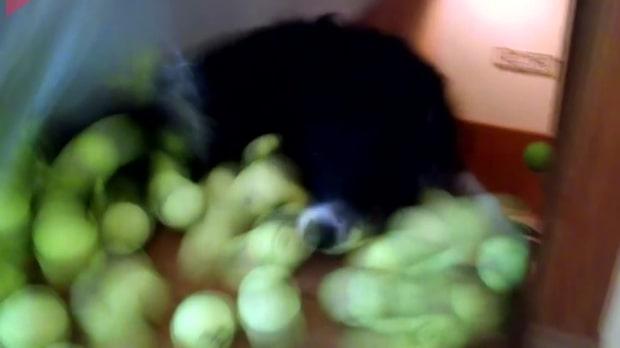 Oslagbar reaktion: Bolltokiga hunden får 100 tennisbollar - samtidigt