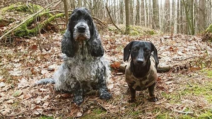 Annikas hundar Dallas och Nero har nu legat med dropp hos veterinären i tre dygn. Foto: Privat