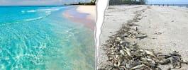 Floridas populära stränder hårt drabbade av giftiga alger