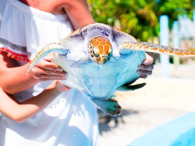 Många väljer att besöka rescue-center för havssköldpaddor på Cayo Largo.