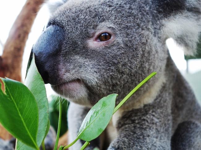 Koalan är vanlig som fotorekvisita för turister. Nu dyker det upp ett varningsmeddelande om det dolda djurplågeriet när Instagramanvändare söker på hashtags som #Koalaselfie.